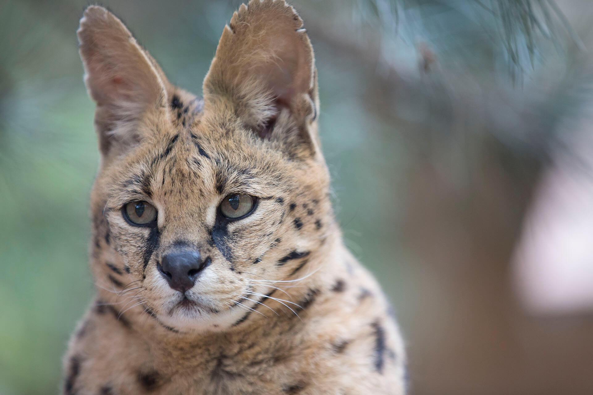 Servals – WildCat Ridge Sanctuary